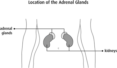 Diagram of the location of the adrenal glands