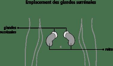 Schéma de l'emplacement des glandes surrénales