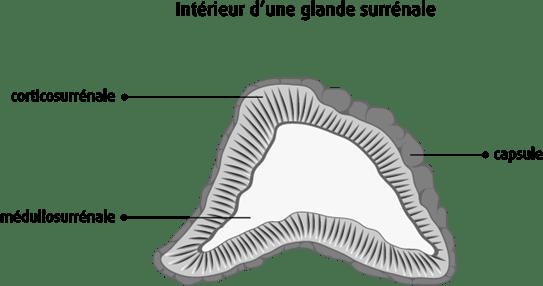 Schéma de l'intérieur d'une glande surrénale
