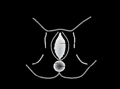 Schéma de l'anus et de sa région voisine