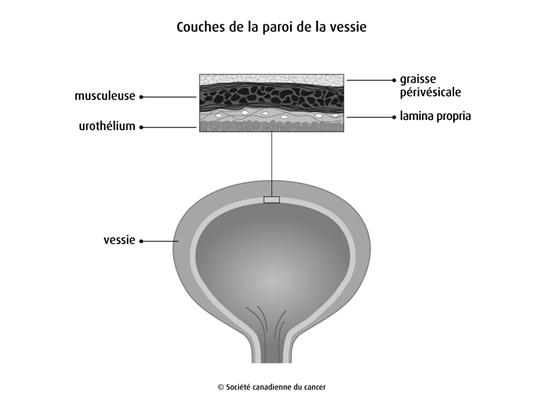 Schéma des couches de la paroi de la vessie