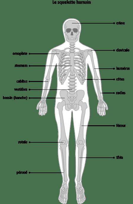 Schéma du squelette humain