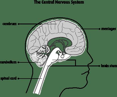 Diagram of the central nervous system