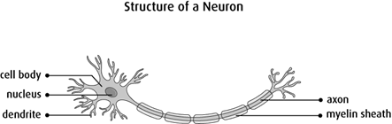 Diagram of the structure of a neuron