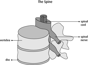 Graphic of the spine