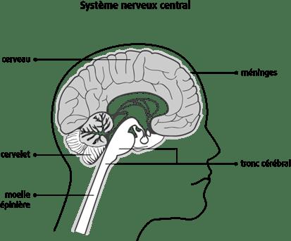 Schéma du système nerveux central