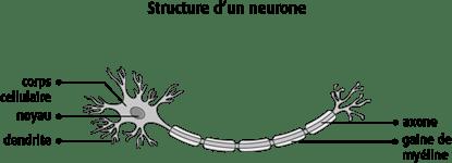 Schéma de la structure d'un neurone