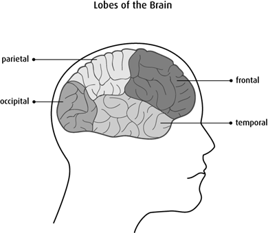 Diagram of the lobes of the brain