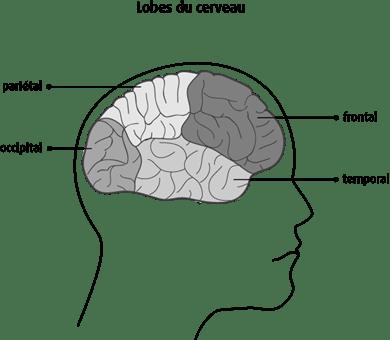 Schéma des lobes du cerveau