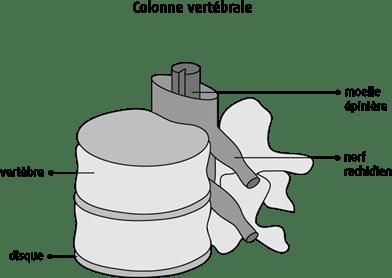 Schéma de la colonne vertébrale