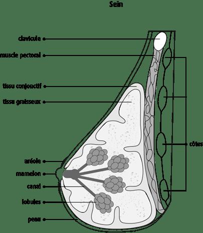 Schéma d'une vue latérale du sein