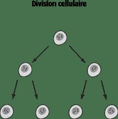 Schéma de la division cellulaire