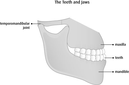 Diagram of the teeth and jaws