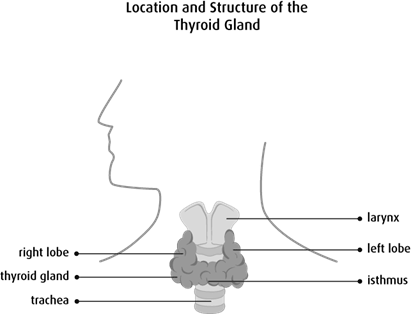 Diagram of the location and structure of the thyroid gland