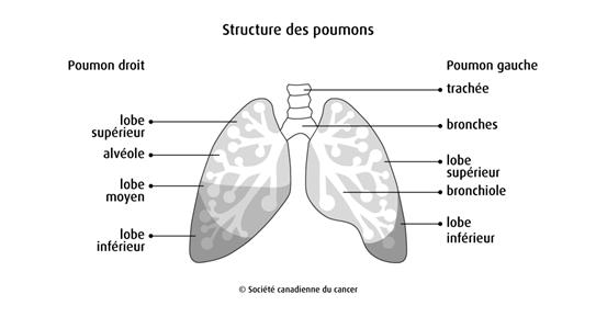 Structure des poumons