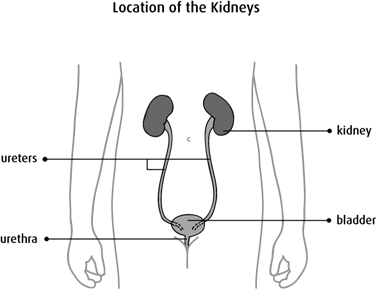 Diagram of the location of the kidneys