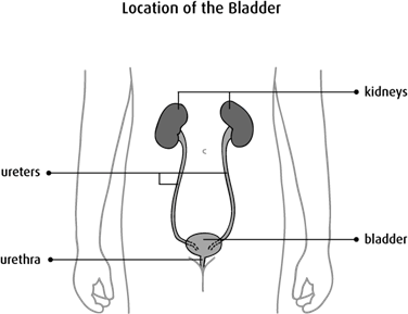 Diagram of location of the bladder