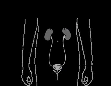Schéma de l'emplacement de la vessie
