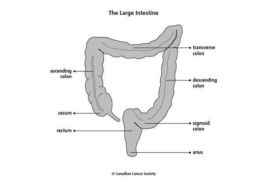 Diagram of the large intestine
