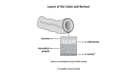 Diagram of the layers of the colon and rectum