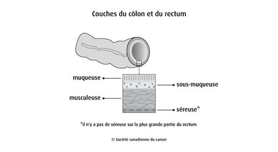 Schéma des couches du côlon et du rectum