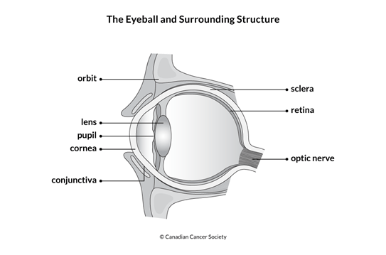 Diagram of the eyeball and surrounding structure