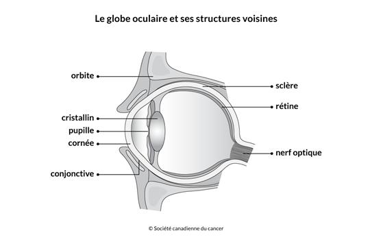Schéma du globe oculaire et de ses structures voisines
