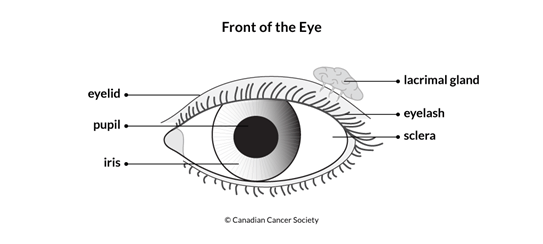 Diagram of the front of the eye