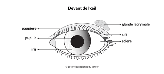 Schéma du devant de l'œil