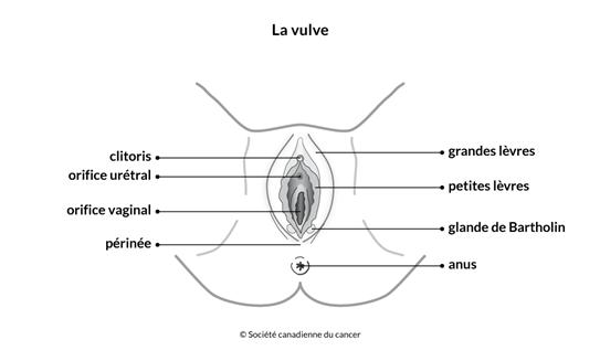 Schéma de la vulve