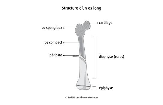 Schéma de la structure d'un os long