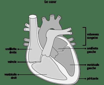 Schéma du cœur