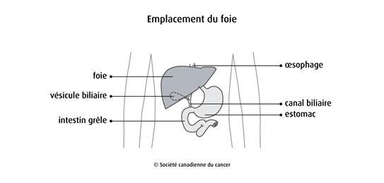 Schéma de l'emplacement du foie