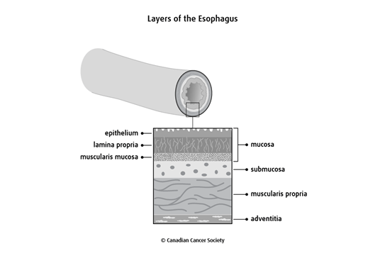 Diagram of the layers of the esophagus