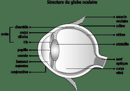 Schéma de la structure du globe oculaire