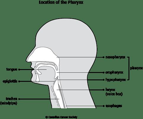 Location of the Pharynx