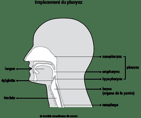 Schéma de l'emplacement du pharynx
