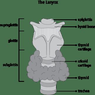 Diagram of the larynx
