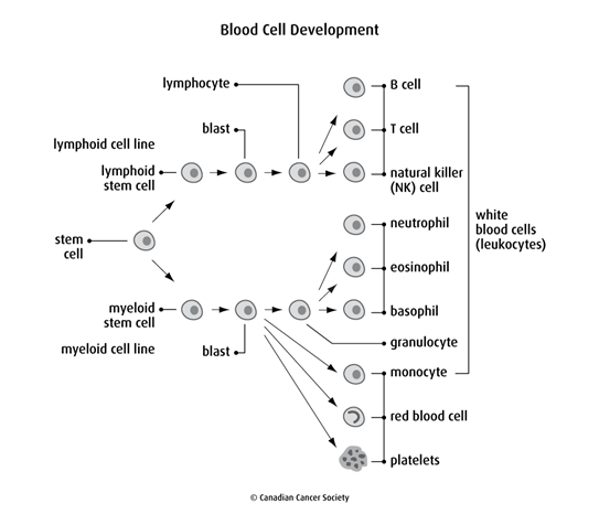 Diagram of blood cell development