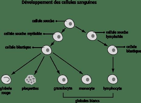 Développement des cellules sanguines