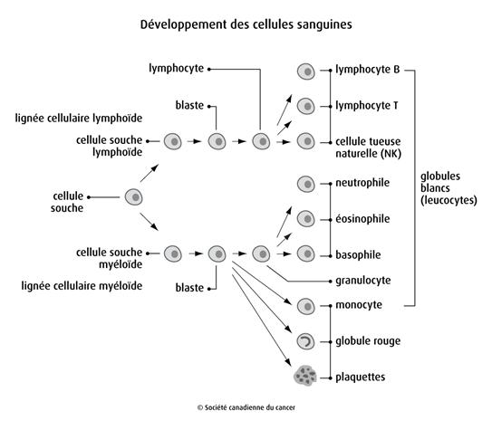 Schéma du développement des cellules sanguines
