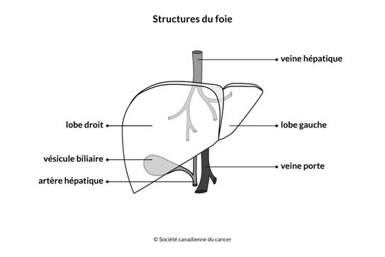 Schéma des structures du foie