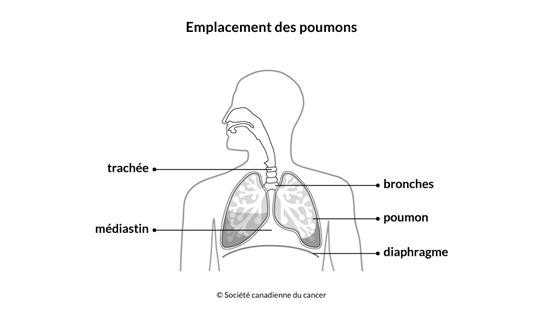 Schéma de l'emplacement des poumons