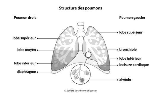 Schéma de la structure des poumons