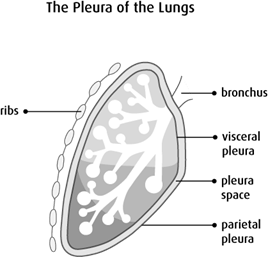 Diagram of the pleura of the lungs