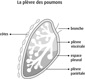 Schéma de la plèvre des poumons