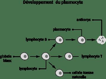 Schéma du développement du plasmocyte