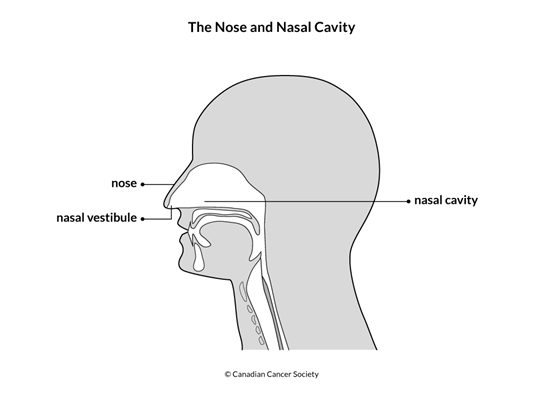 Diagram of the nose and nasal cavity