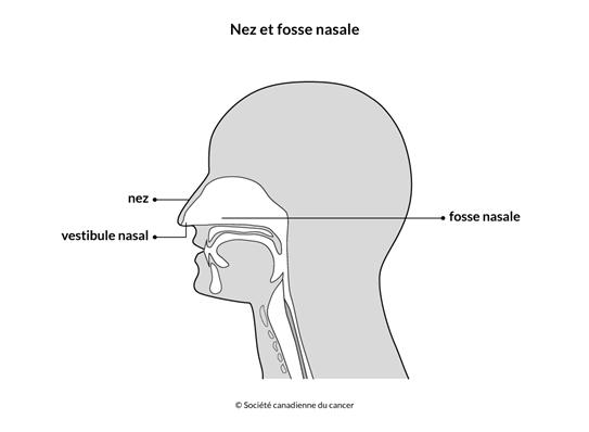 Schéma du nez et de la fosse nasale