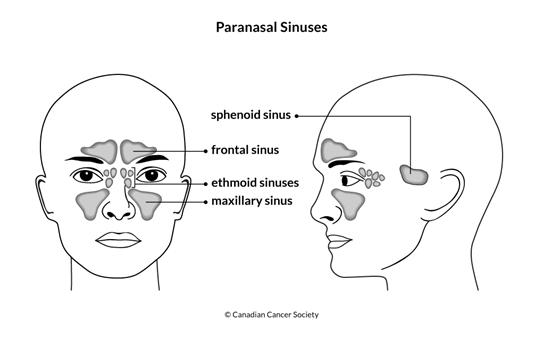 Diagram of the paranasal sinuses
